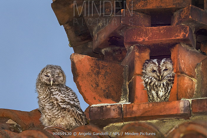 Tawny owls (Strix aluco) nesting inside a disused chimney. Adult on right, juvenile on the left. Ovada, Italy. April.