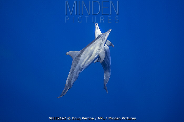 Two Rough-toothed dolphins (Steno bredanensis) off Keauhou, Kona, Hawaii