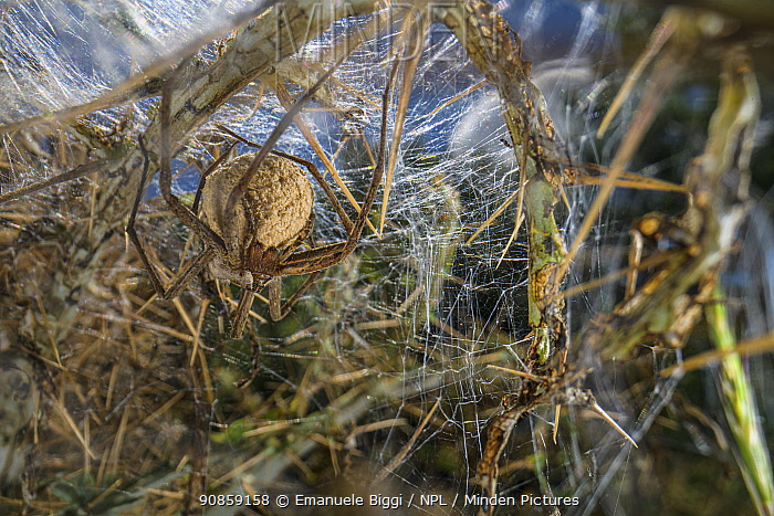 Nursery web spider (Pisaura mirabilis) female holding her eggsac inside the intricate web she has built to protect herself and eggs. Italy, May.
