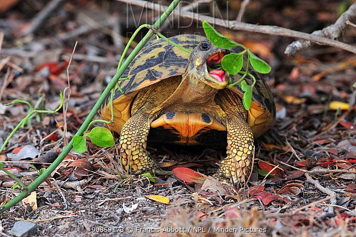 Hermann's tortoise (Testudo hermanni hermanni) feeding, S'Albufera de es Grau Natural Park, Menorca.