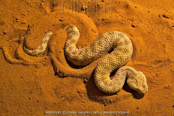 Sahara sand viper (Cerastes vipera) occurs Mauritania to Egypt, Africa.