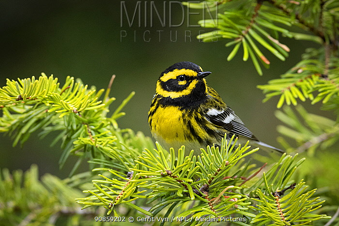 Townsend's warbler (Setophaga townsendi). Deschutes County, Oregon, USA. May.