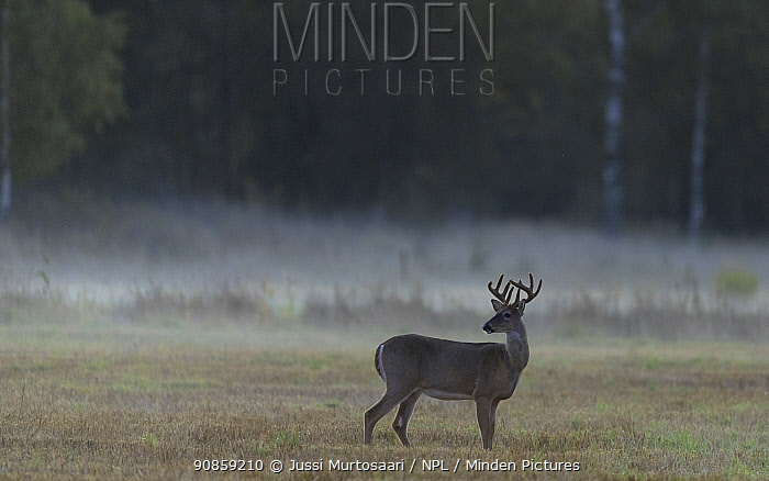 White-tailed deer (Odocoileus virginianus), male at dawn, Finland, September.