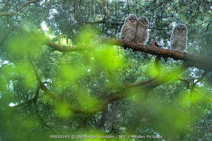 Tawny owl (Strix aluco) fledglings in pine tree, Oslo, Norway, June.