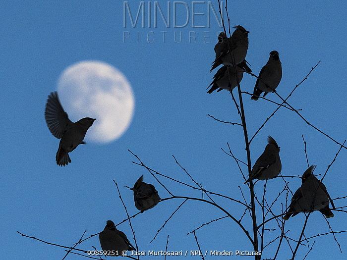 Bohemian waxwing (Bombycilla garrulus), flock at dusk with moon, Finland, February.