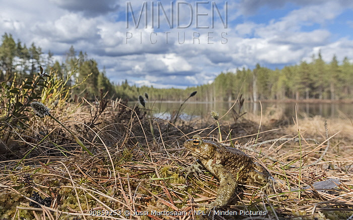 European toad (Bufo bufo), near spawning pond, Finland, May.