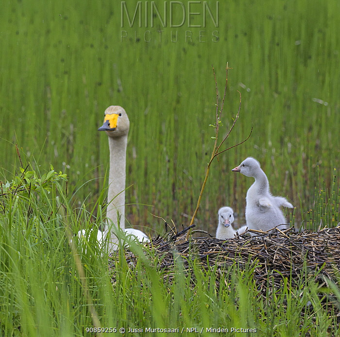 Whooper swan (Cygnus cygnus), at nest with cygnets, Finland, June.