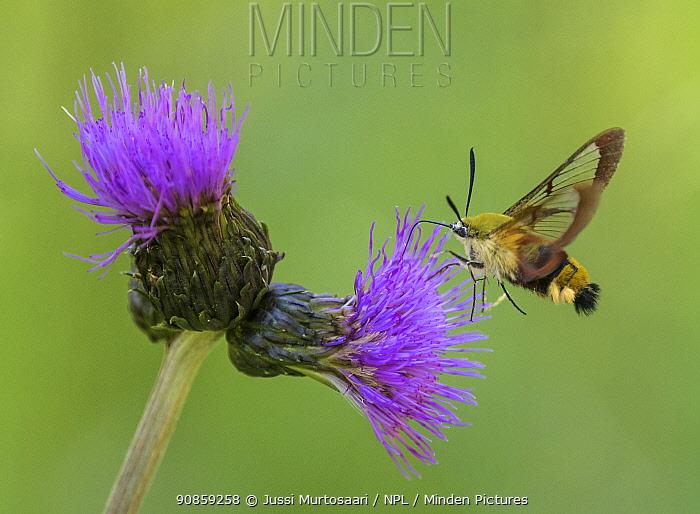 Broad-bordered bee hawk-moth (Hemaris fuciformis), feeding on Melancholy thistle (Cirsium helenioides), Finland, June.