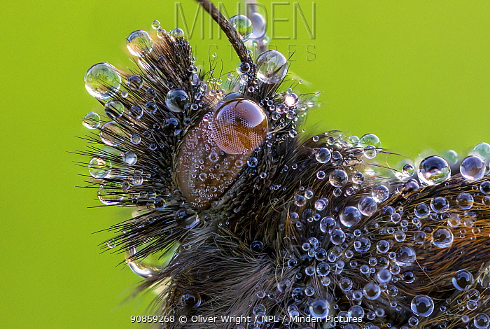 Portrait of a head of Meadow brown butterfly (Maniola jurtina) hairs covered in dew . Ledston, Yorkshire, England, UK, July. Focus stacked image.