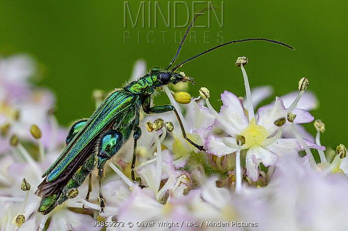 Thick-legged flower beetle (Oedemera nobilis). Great Preston, Leeds, Yorkshire, England,UK, June. Focus stacked image.