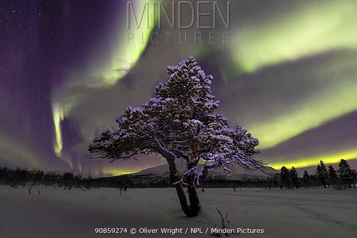 Aurora over lone pine tree in Abisko National Park, Abisko, North Sweden. February 2020.