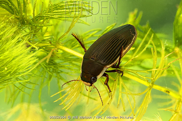 Black-bellied great diving beetle (Dytiscus semisulcatus) female, Breconshire, Wales, UK. Controlled conditions. Focus stacked