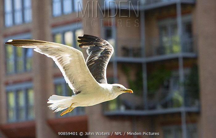 Lesser black-backed gull (Larus fuscus) retaining some juvenile plumage, in flight in Bristol, UK, August 2020.