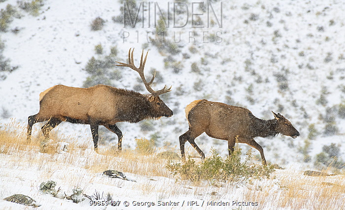 Elk (Cervus canadensis) bull following a cow in a snowstorm, during the rut. Yellowstone National Park, Wyoming, USA. September.