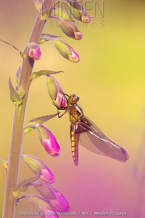 Broad-bodied chaser dragonfly (Libellula depressa), recently emerged, resting on Foxglove (Digitalis purpurea). Cornwall, England, UK. May.