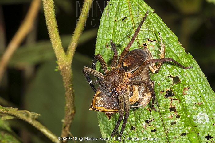 Wandering spider (Ctenidae) eating rare Spix's horned treefrog (Hemiphractus scutatus). Pastaza Province, Ecuador.