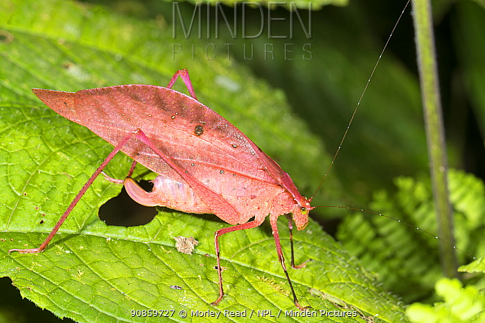 Pink katydid (Tettigoniidae). Katydids are usually green enabling them to remain camouflaged in leafy vegetation. Pink coloured individuals occur in many species but are rare. Los Cedros Biological Reserve, Ecuador.