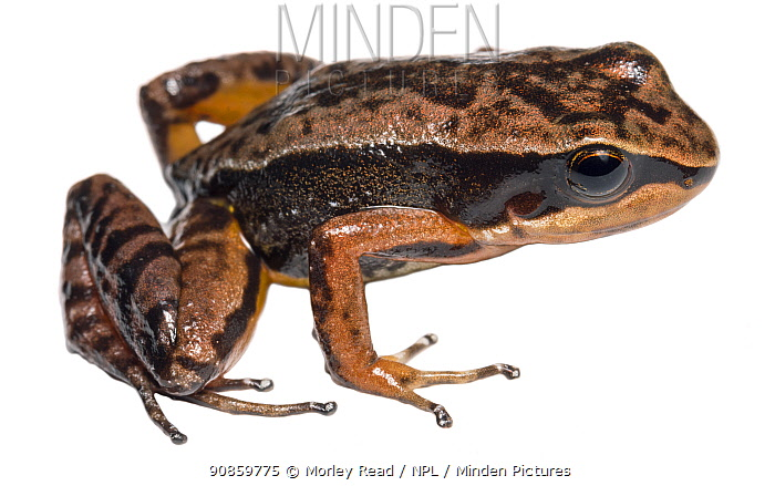 Kingsbury's rocket frog (Allobates kingsburyi) at altitude of 2000m. Paquisha Alta, Cordillera del Condor, Ecuador.