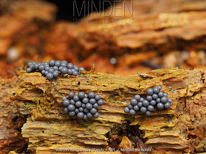 Slime mould (Cribraria argillacea), newly forming sporangia. Buckinghamshire, England, UK. September. Focus stacked image.