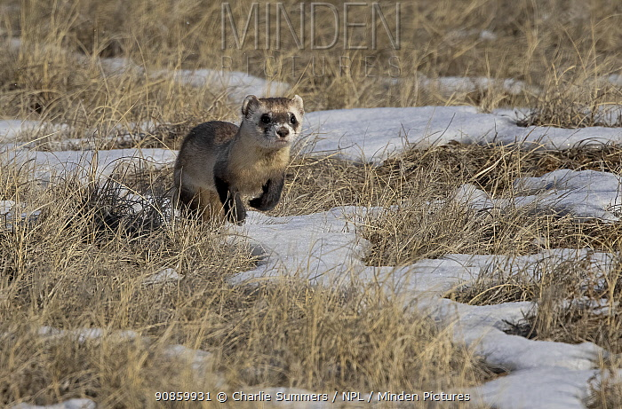 Black-footed ferret (Mustela nigripes) running through snow on prairie, hunting for prey in Prairie dog (Cynomys sp) burrows. Colorado, USA. January.