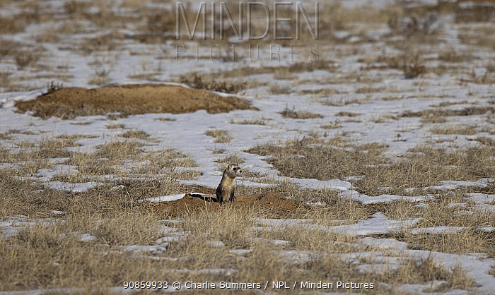 Black-footed ferret (Mustela nigripes) leaving a Black-tailed prairie dog (Cynomys ludovicianus) burrow whilst hunting for prey on snow covered prairie. Colorado, USA. January.