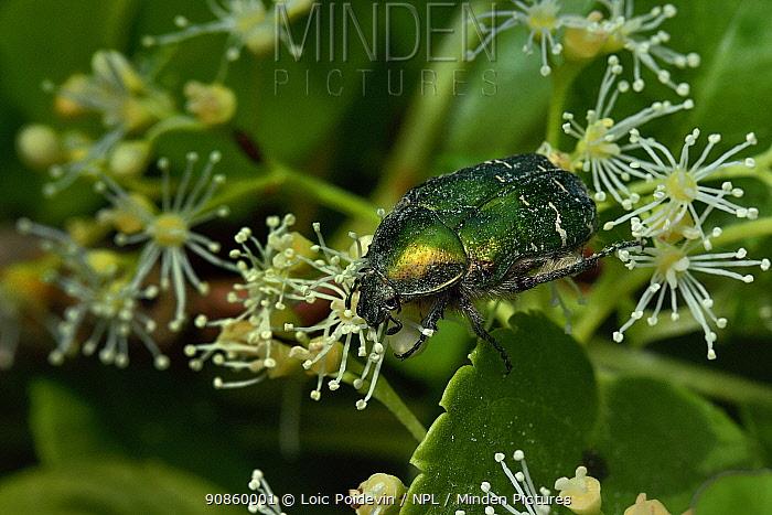 Rose chafer beetle (Cetonia aurata) on climbing hydrangea flower (Hydrangea petioralis) Vendee, France, May.