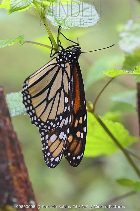 Monarch butterfly (Danaus plexippus) Sierra Chincua Sanctuary, Mexico.
