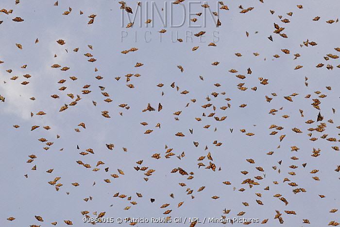 Monarch butterflies (Danaus plexippus) in flight, El Rosario Sanctuary, Mexico, November.