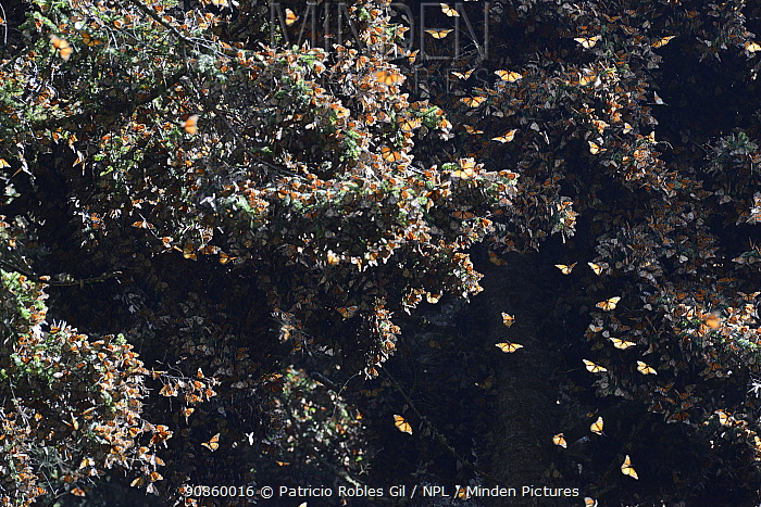 Monarch butterfly (Danaus plexippus) some flying and some resting in oyamel trees, El Rosario Sanctuary Reserve, Mexico.
