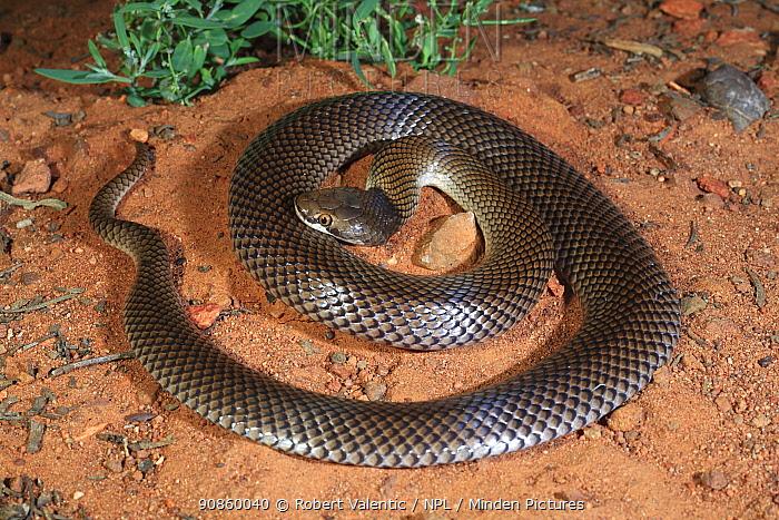 Curl snake (Suta suta) male, from brigalow habitat near Glenmorgan in inland SE Queensland, Australia. Controlled conditions