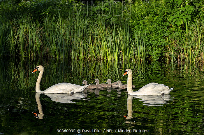Mute swan, (Cygnus olor) pair with cygnets, near Turf Locks, Exeter Canal, Devon , UK. May.