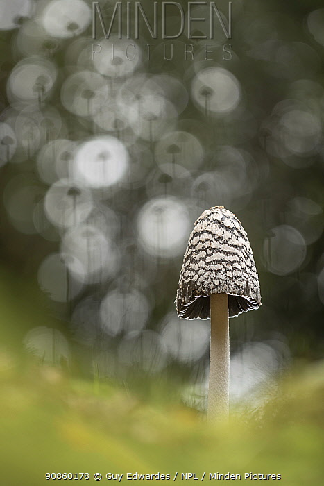 Magpie inkcap fungus (Coprinopsis picacea). New Forest, England, UK. October.
