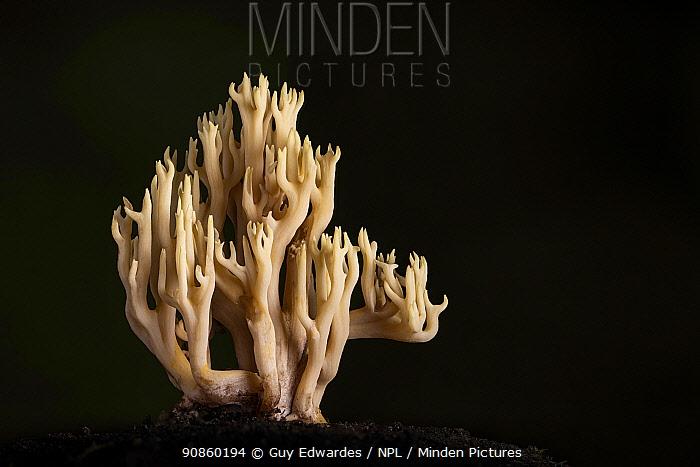 Upright coral fungus (Ramaria stricta). Devon, England, UK. October.
