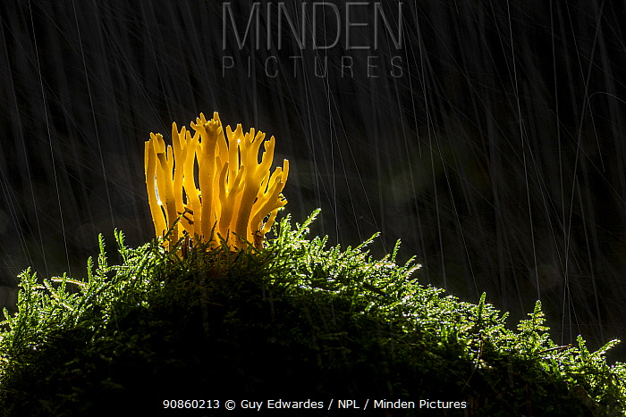 Yellow staghorn fungus (Calocera viscosa) amongst moss, in rain. Golitha Falls National Nature Reserve, Cornwall, England, UK. September.
