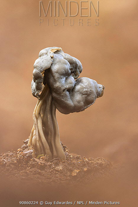 Elfin saddle fungus (Helvella lacunosa) with dog head appearance. New Forest National Park, England, UK. October.
