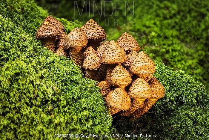 Shaggy scalycap fungus (Pholiota squarrosa) amongst moss. New Forest National Park, England, UK. October.