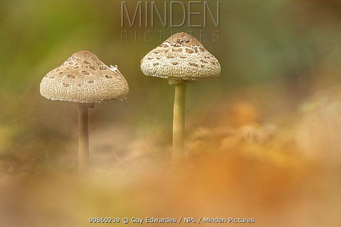 Parasol mushroom (Macrolepiota procera). New Forest National Park, England, UK. October.