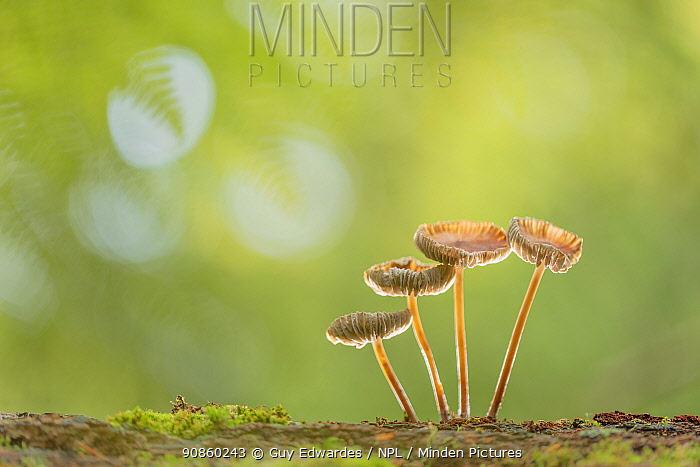 Oak-stump bonnet cap fungus (Mycena inclinata), four ascending in height. New Forest National Park, England, UK. October.