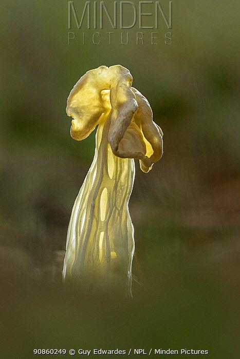 White saddle fungus (Helvella crispa). Badbury Rings National Trust Reserve, Dorset, England, UK. November.