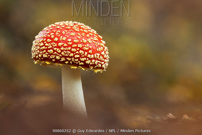 Fly agaric fungus (Amanita muscaria). New Forest National Park, England, UK. October. Focus stacked image.