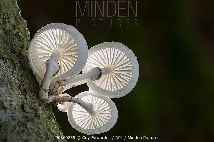 Porcelain fungus (Oudemansiella mucida). New Forest National Park, England, UK. November.