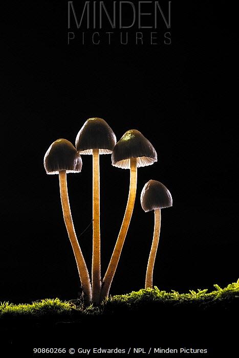 Clustered bonnet fungus (Mycena inclinata). New Forest National Park, England, UK. October.