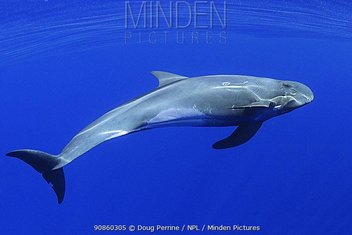 Pygmy killer whale (Feresa attenuata), South Kona, Hawaii.