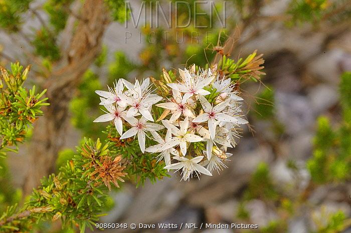 Common Fringe-myrtle (Calytrix tetragona). Tasmania, Australia. November.