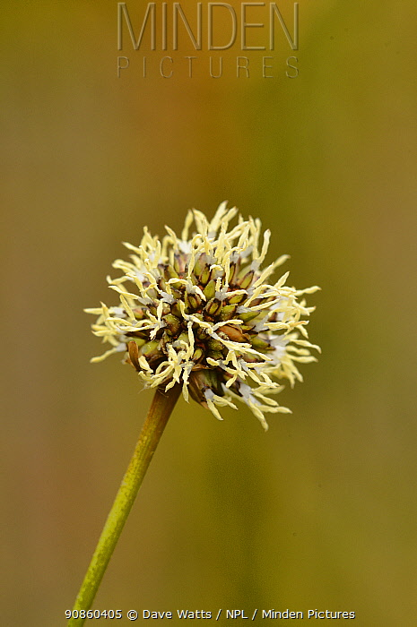 Button grass (Gymnoschoenus sphaerocephalus). Tasmania, Australia. November.