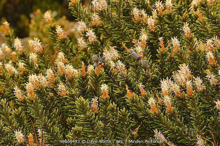 Revolute orites (Orites revoluta). Tasmania, Australia. December.