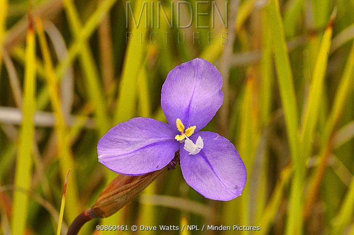 Long purpleflag (Patersonia occidentalis). Tasmania, Australia. December.