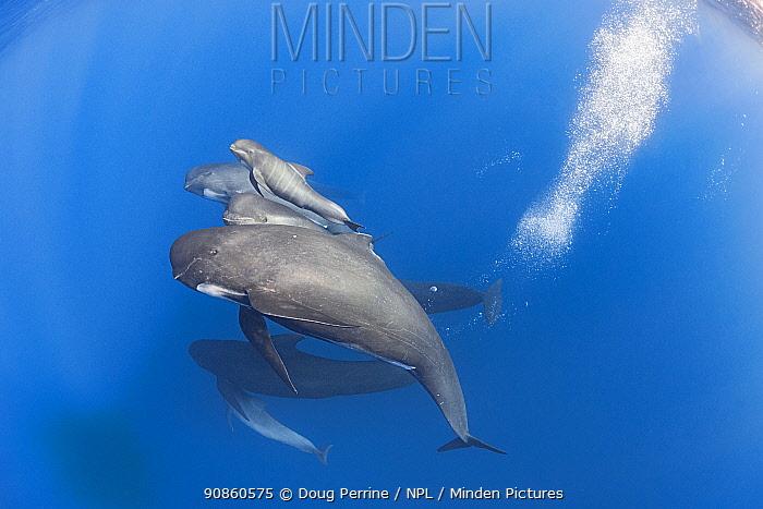 Pod of Long-finned pilot whales (Globicephala melas) with newborn calf, still showing fetal folds, Straits of Gibraltar, North Atlantic Ocean.