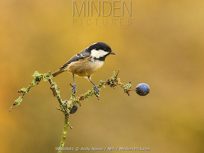 Coal tit (Periparus ater) perched on lichen-covered branch, Wales, UK. November.