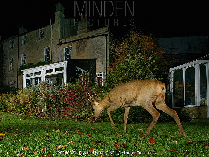 Roe deer (Capreolus capreolus) buck crossing a garden lawn at night near a house, Wiltshire, UK, November. Property released.